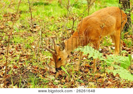 wild roe deer eating grass in the Ussuri Taiga