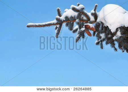 fir snow branch with cones on the blue sky background