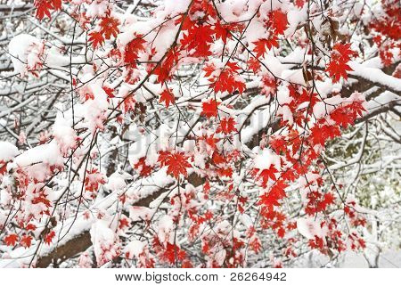 red maple fallen leaves tree snow covered