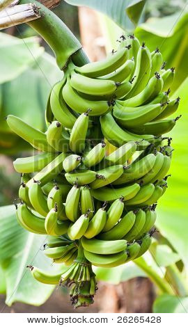 green bananas palma tree at Hallim Park of Jeju island Korea