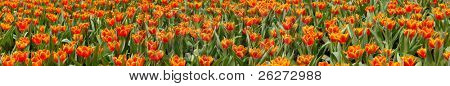 Panorama view of orange tulips