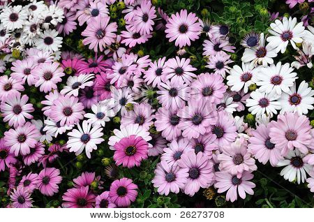 Close up of purple and white daisies