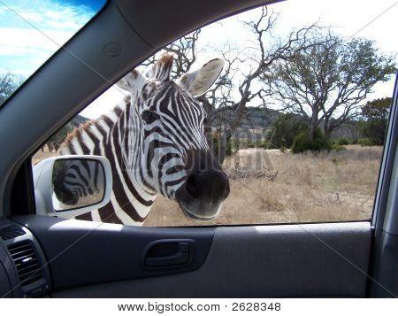 Wildlife Peeks In A Car Window