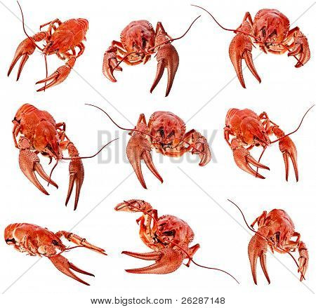collection of red boiled crawfish on white background