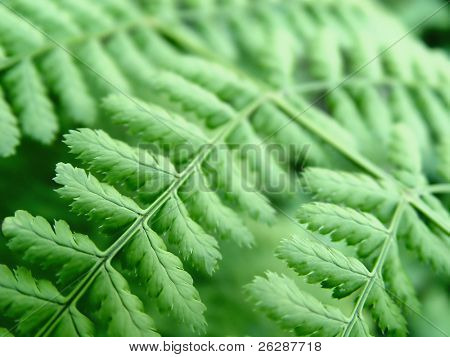 Closeup of a Green Fern, focus in the middle of the image