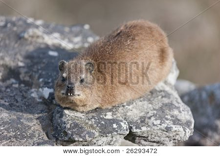 Rock dassie (procavia capensis) at Table Mountain in South Africa.