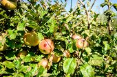 Fresh Ripe Organic Apples On Tree Branch In Apple Orchard. poster