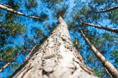 Bottom View Of Tall Old Pine Trees In Evergreen Primeval Forest With Blue Sky In Background. Pine Fo poster