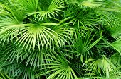 Lush green palm leaves in tropical forest