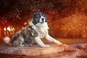 Fluffy Caucasian Shepherd Dog In The Yard. Caucasian Sheepdog In Autumn Time.adult Caucasian Shepher poster