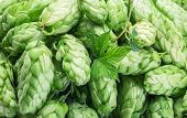 Green hop cones -  ingredient in the beer production.  poster