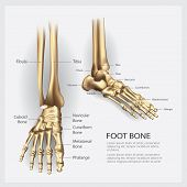 Human Anatomy Foot Bone With Detail Vector Illustration poster