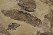 stock photo of paleozoic  - fossilized fish in a bed of sandstone - JPG