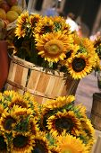 foto of profusion  - Sunflowers for sale in Copley Square in Boston Massachusetts - JPG