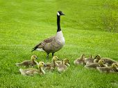 stock photo of mother goose  - goose family time - JPG