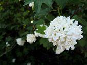 Buldenezh Bush - White Spheric Flower With Contrast Dark Leaves, Atmospheric Closeup Photo poster