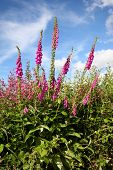pic of digitalis  - Wild foxgloves  - JPG