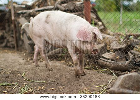 Large Domestic Pig Farming