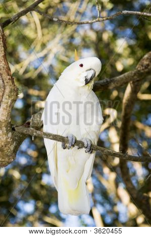 Lesser Sulpher Crested Cockatoo