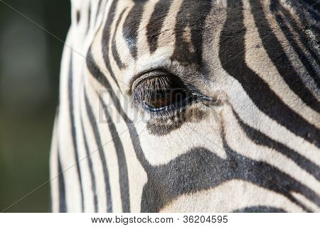 One Zebra Eye