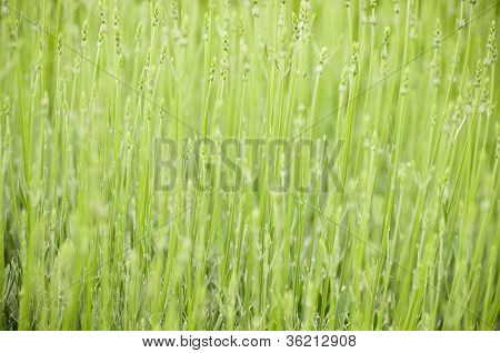 Green ears of corn against the background of