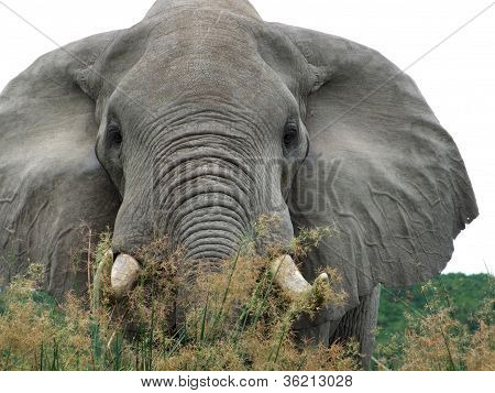 Elephant In High Grassy Vegetation