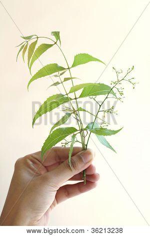 Hand Holding Neem Leaves