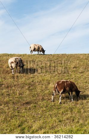 Brown And White Sheep Grazing On A Dike.