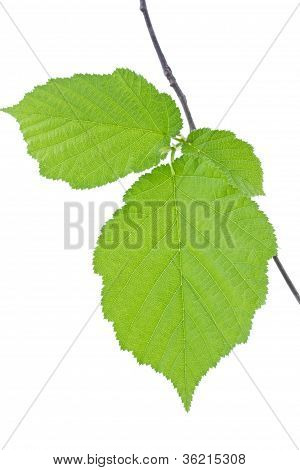 Hazel leaves on white background