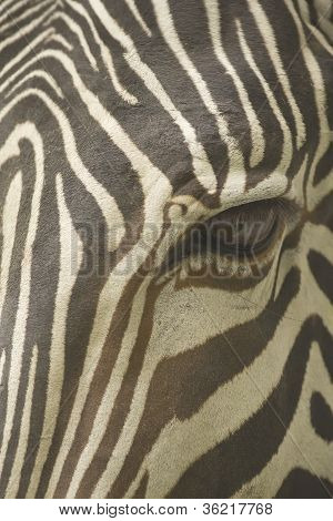 Face Of A Grevy's Zebra Close Up