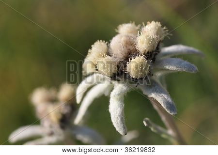 Edelweiss de verano