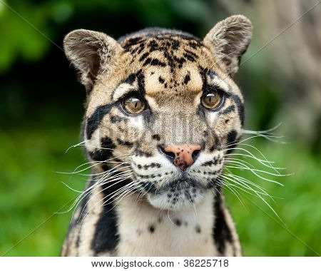 Head Shot Portrait Of Beautiful Clouded Leopard