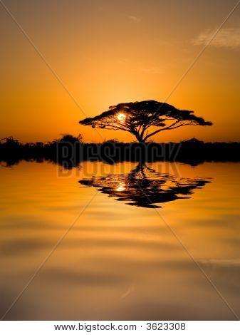 Árbol de Acacia al amanecer
