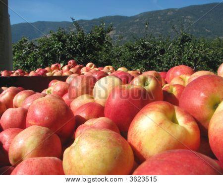 Apple Harvest In The Okanagan Valley