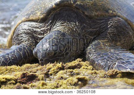Giant Hawaiian Green Sea Turtle