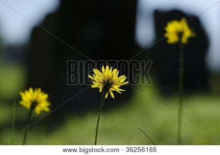 Thee Long Stemmed Dandelion, Taraxacum Officinale Flowers In A Row