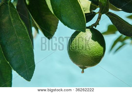 Fresh Green Lemon On A Tree