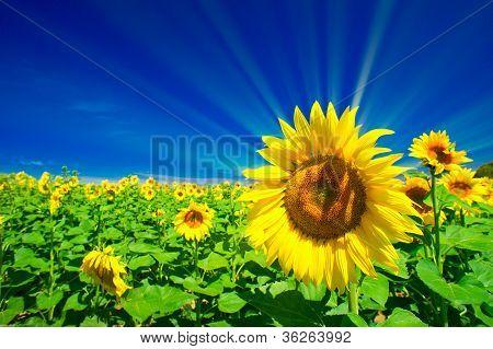 Fine Sunflowers And Fun Sun In The Sky.