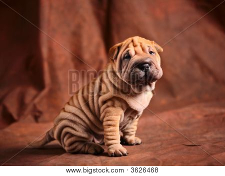 Cute Sharpei Puppy