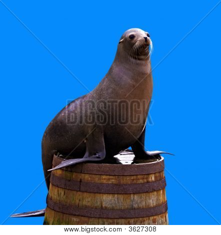 Sea Lion Isolated
