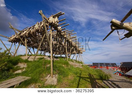 Drying Stockfish In Norway