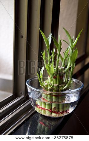 Bamboo-good Luck Plant Two