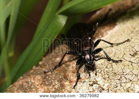 Carab Beetle