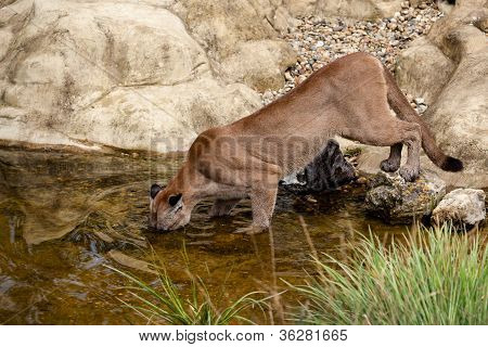 Puma Fishing In A Pond