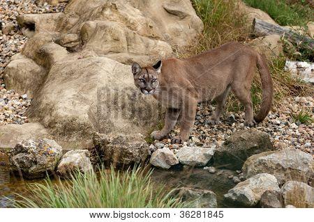 Puma Standing Staring On Rocks