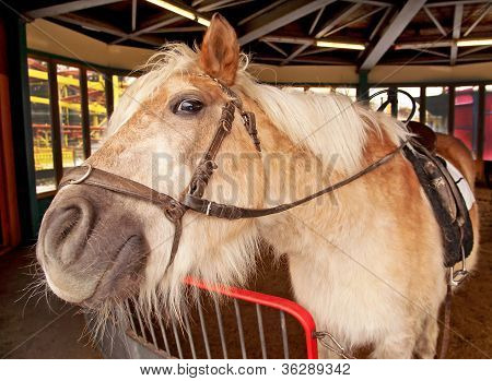 Shetland Pony, Equus Caballus, In The Stable