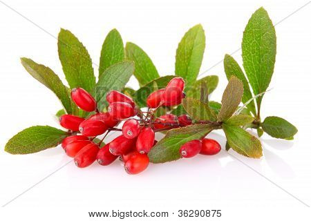 Ripe Barberries On Branch With Green Leaf