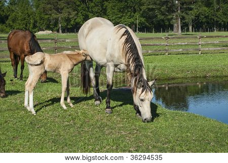 Feeding Time For Mare & Foal