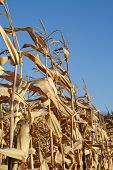 stock photo of zea  - row of dry the maize