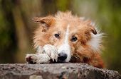stock photo of border terrier  - sad red border collie laying on the stone - JPG